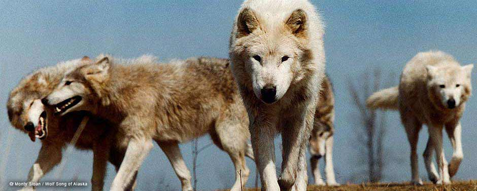 MontySloan-WolfSongofAlaska-1.jpg