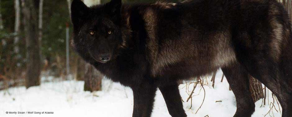 MontySloan-WolfSongofAlaska-2.jpg