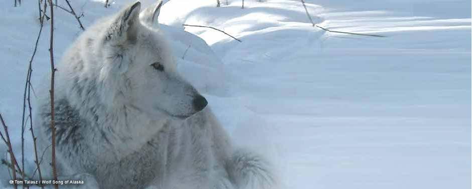 MontySloan-WolfSongofAlaska4.jpg