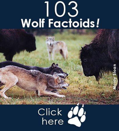 Check out the 103 factoids about wolves!