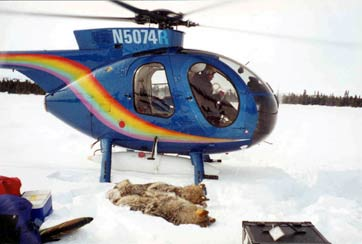 Fig. 2: Two young wolves captured by darts from helicopter, April 2002 / Photo: Kevin White