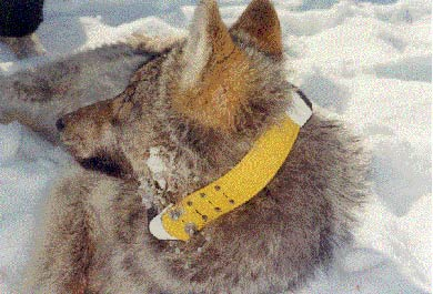 Fig. 3: The 1-2 year old male wolf (labeled NW025) under tranquilization is outfitted with a 450 g GPS-Plus collar / Photo: Howard Golden