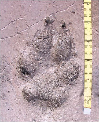 Animal tracks set up well and last for quite a while in mud and wet sand.