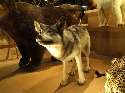 Extinct Wolf A Symbol Of What Japan Has Lost Wolf Song Of Alaska