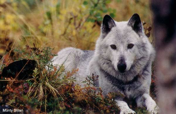 Gray Wolf by Monty Sloan